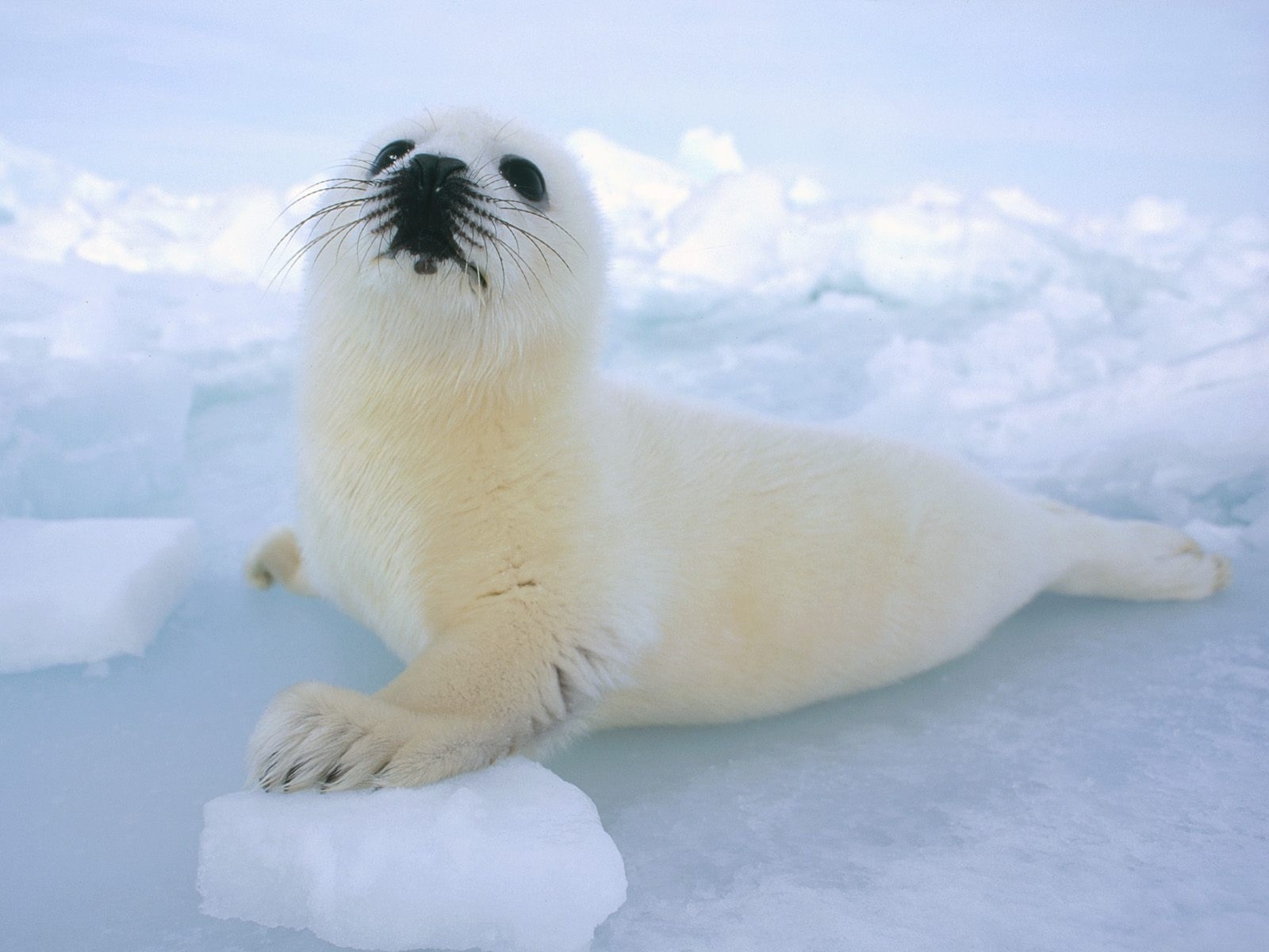 Baby harp seal - when he grows up, he could be an astronomer (care2