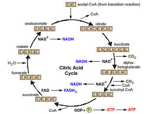 krebs cycle diagram easy | Diarra