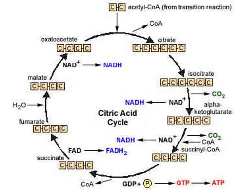 krebs cycle diagram easy | Diarra