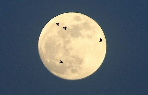 The moon provides the perfect backdrop for watching birds migrate at night. Observers with spotting scopes and small telescopes can watch the show anytime the moon is at or near full. Photo illustration: Bob King